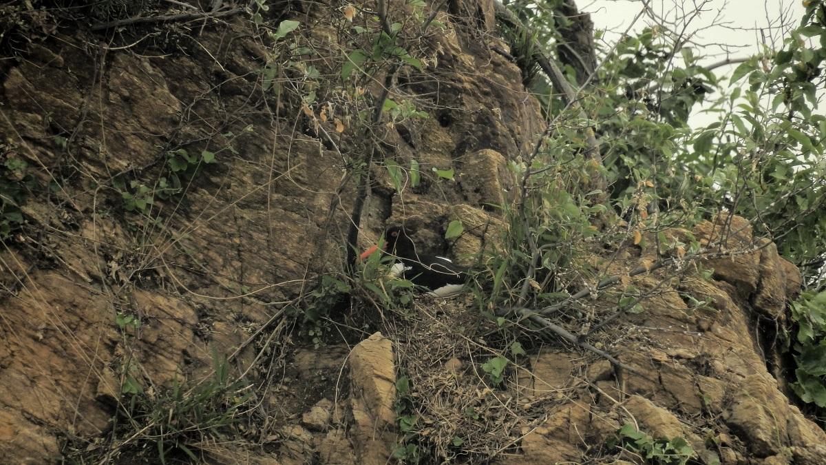 검은머리물떼새는 포란 중 농섬과 이어진 웃섬에서 검은머리물떼새가 알을 품고 있다.