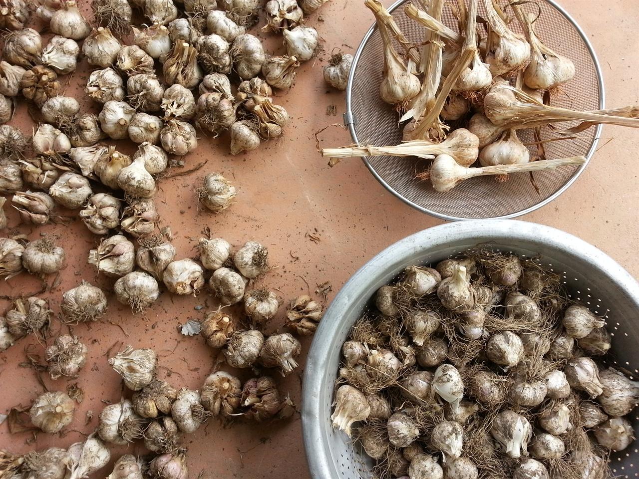 마늘 큰 바구니의 것은 우리가 농사 지은 것이고 작은 바구니와 바닥의 것은 선물 받은 것.
