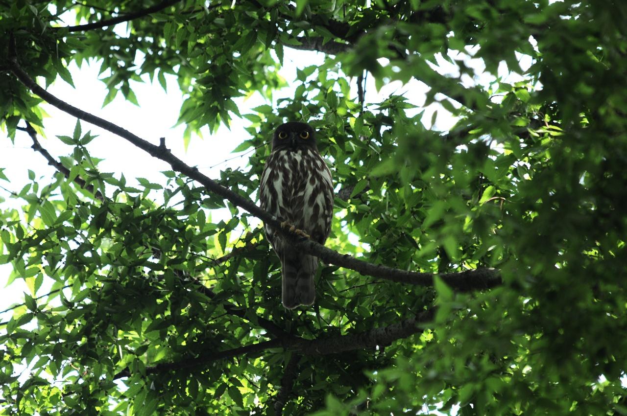 당산나무에 앉은 솔부엉이 솔부엉이가 내려보고 있는 모습