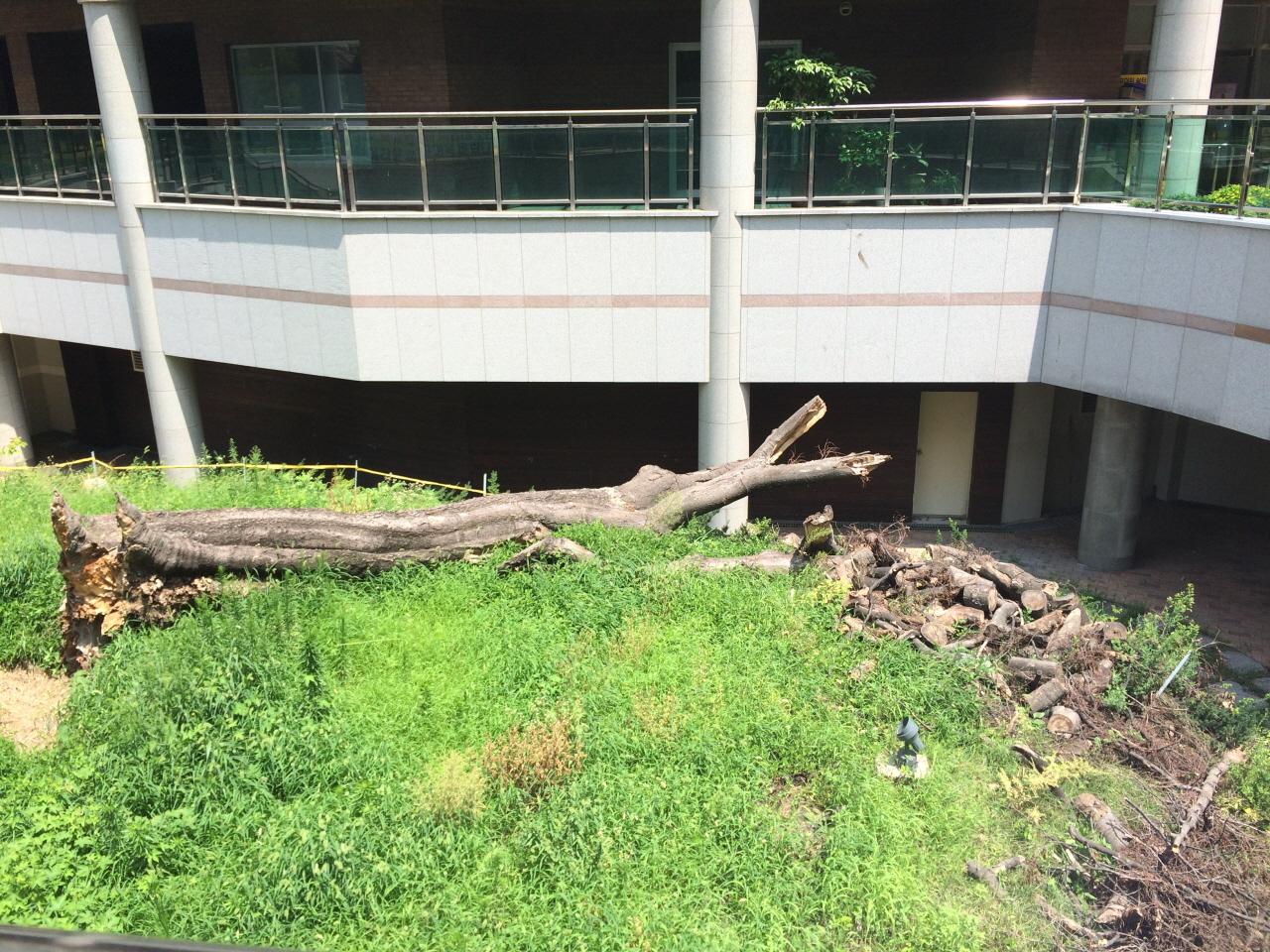 대전 목동의 당산나무가 죽은 모습 아파트를 건설하면서 당산나무였던 버드나무를 보전하기로 했지만, 아파트건설이후 환경이 나빠지자 2015년 죽었다.