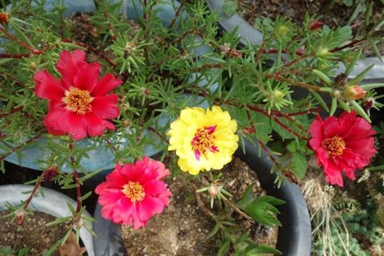 고덕마을에서 구한 채송화 씨앗을 심어 꽃이 핍니다