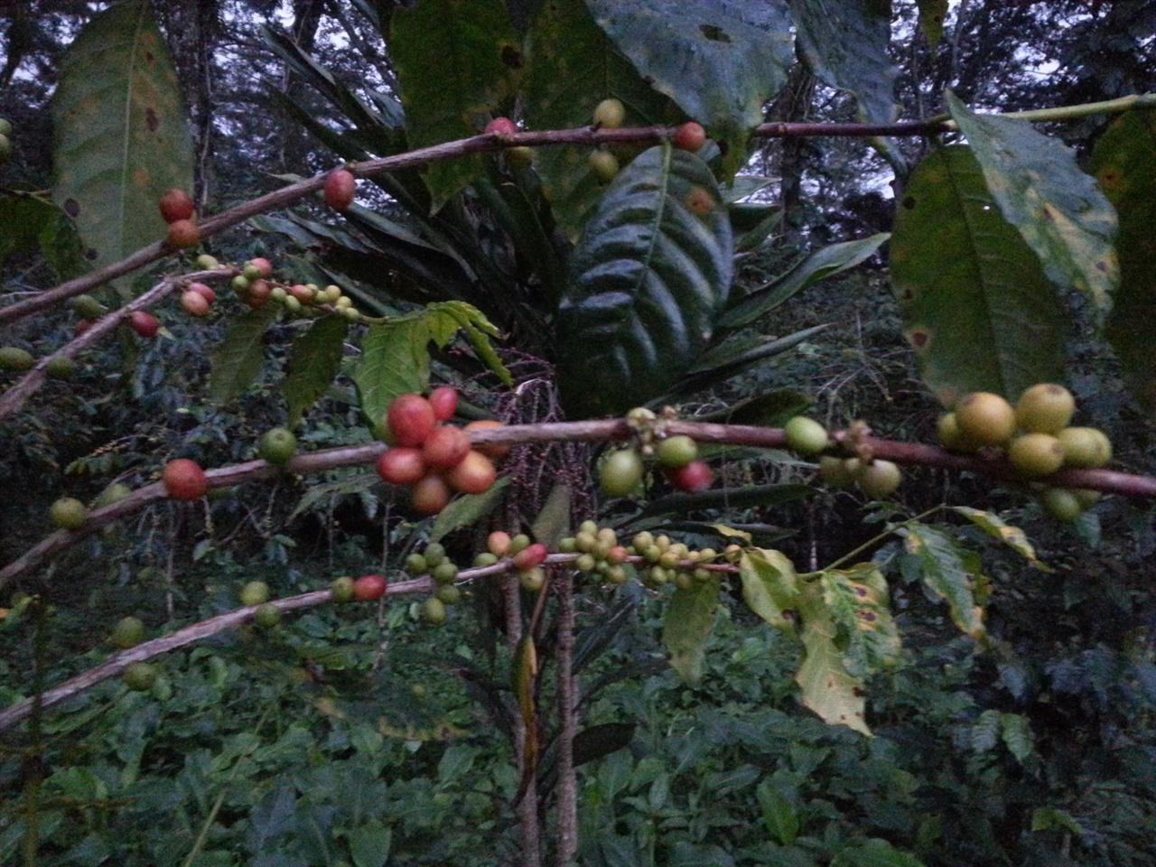 소그룹 학빛 커피생산자협동조합 학빛(Hakbit) 오르다 만난 커피나무