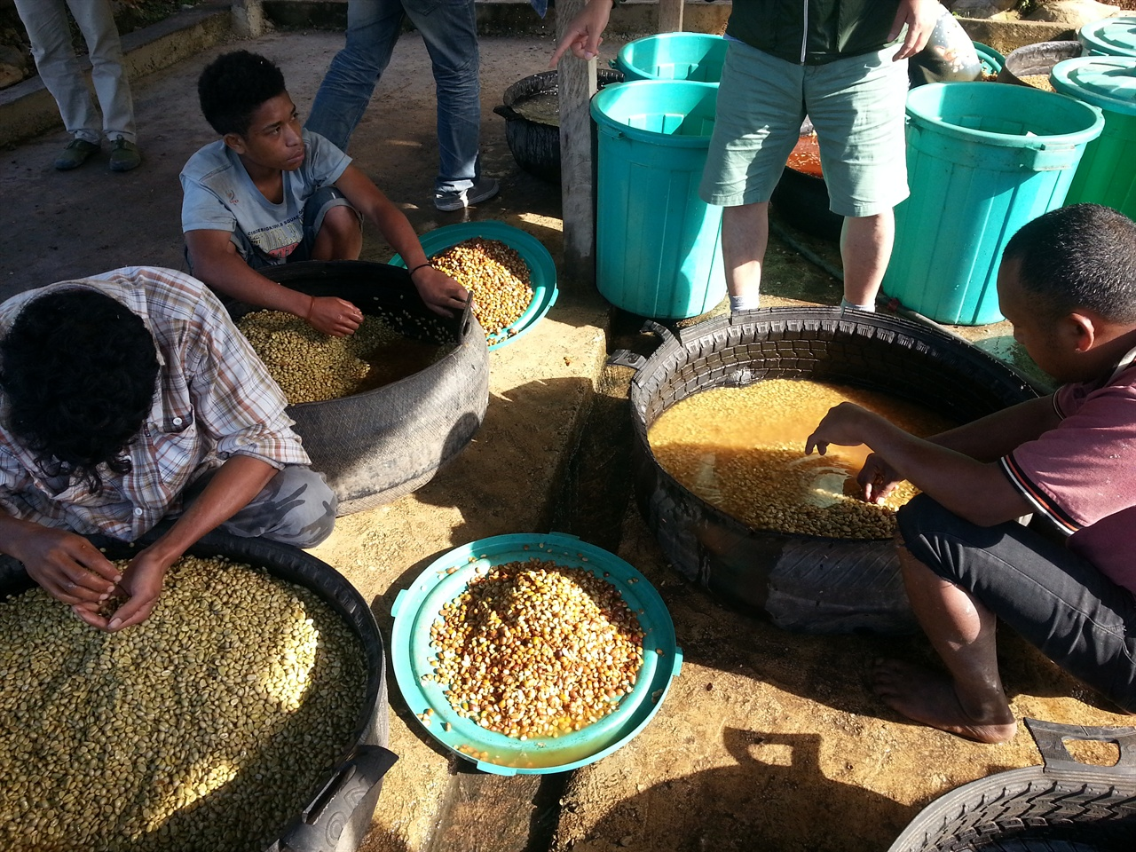 제라마 소그룹 조합원과 가족들이 커피가공공장에서 과육을 제거하고 발효한 불량 파치먼트를 가려내고 있다