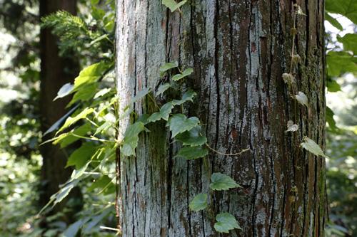 무등산편백휴양림에는 편백과 삼나무가 하늘로 쭉쭉 뻗어 있다. 삼나무를 따라 넝쿨이 타고 오르는 모습도 눈길을 끈다.