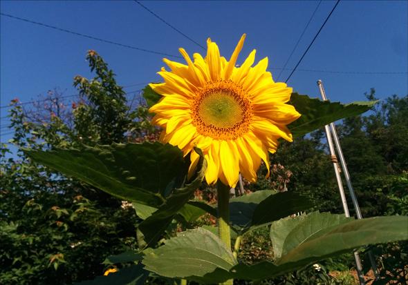 1년 살다간 햄스터가 남긴 해바라기가 큰 접시만한 꽃을 피웠다.