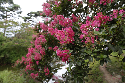 명옥헌원림에 활짝 핀 배롱나무 꽃. 진분홍 빛깔로 100일 동안 피고 지고를 반복하는 여름꽃이다.