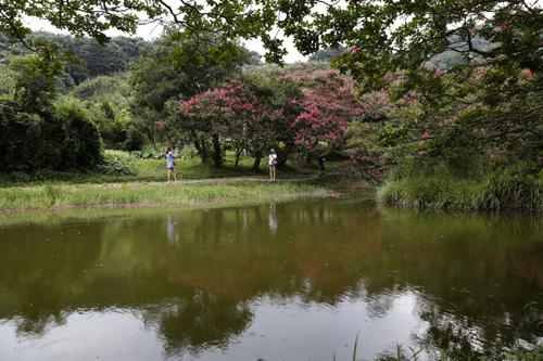 연못과 어우러진 명옥헌원림 풍경. 진분홍 빛깔의 배롱나무 꽃이 피어나 연못에 반영되고 있다.