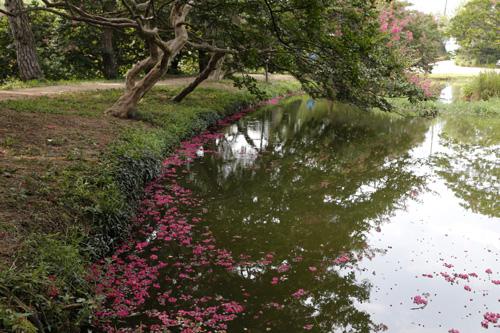 연못의 물 위에 떨어진 진분홍 빛깔의 배롱나무 꽃. 지난 8월 8일 명옥헌원림 풍경이다.