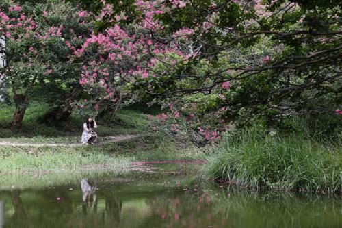 명옥헌원림을 찾은 여행객이 진분홍 빛깔의 배롱나무 꽃을 바라보고 있다. 지난 8월 8일 풍경이다.