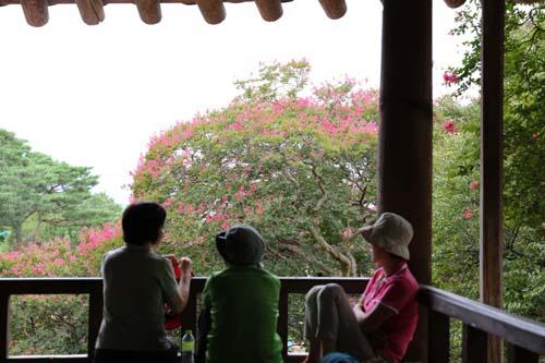 명옥헌에서 본 배롱나무 꽃. 마루에 앉아서 이야기를 나누는 여행객들까지도 그림이 된다.