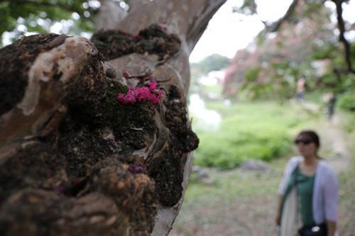 고목이 된 배롱나무에 진분홍 빛깔의 꽃 한 송이가 떨어져 있다. 해마다 이맘때 진분홍 꽃으로 꽃세상을 연출하는 명옥헌원림 풍경이다.
