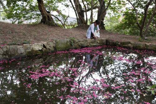 명옥헌원림의 작은 연못에 진분홍 빛깔의 배롱나무 꽃이 수북하게 떨어져 있다. 한 여행객이 물에 떨어진 꽃잎을 바라보고 있다.