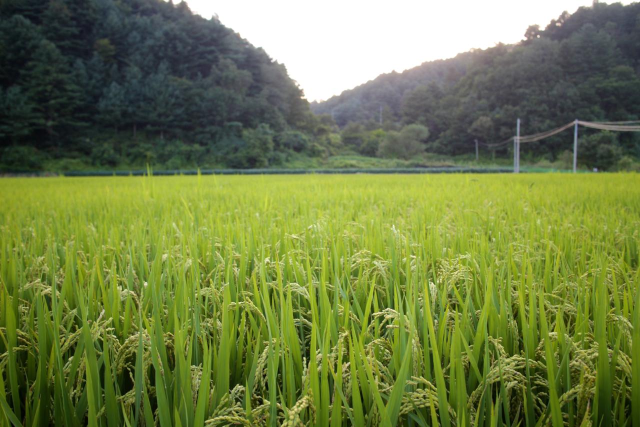 쌀이 유명한 철원 지역이라 논밭은 오지게도 많지만 그럼 뭐하나. 그림의 떡이요 남의 집 곳간인 것을.