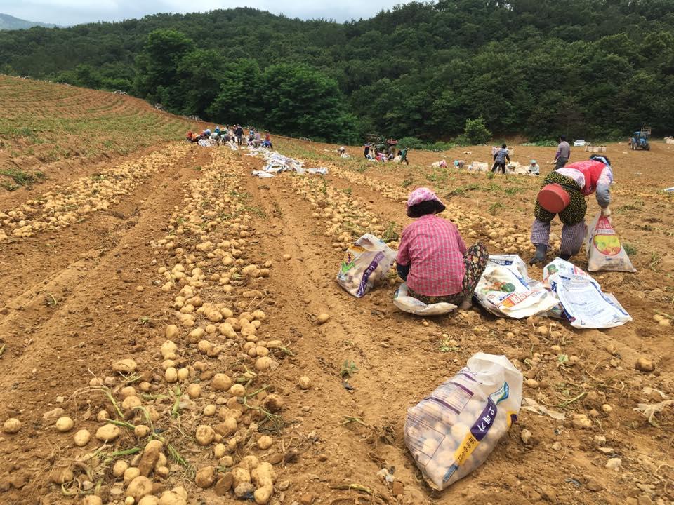 감자를 수확 중인 농민들 수확 현장에는 항상 록야의 직원들이 함께 한다.