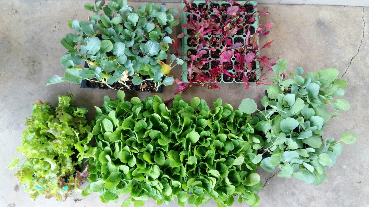 8월 19일 어렵사리 구입한 모종들. 위로부터 양배추, 비트, 상추, 김장배추, 브로콜리.