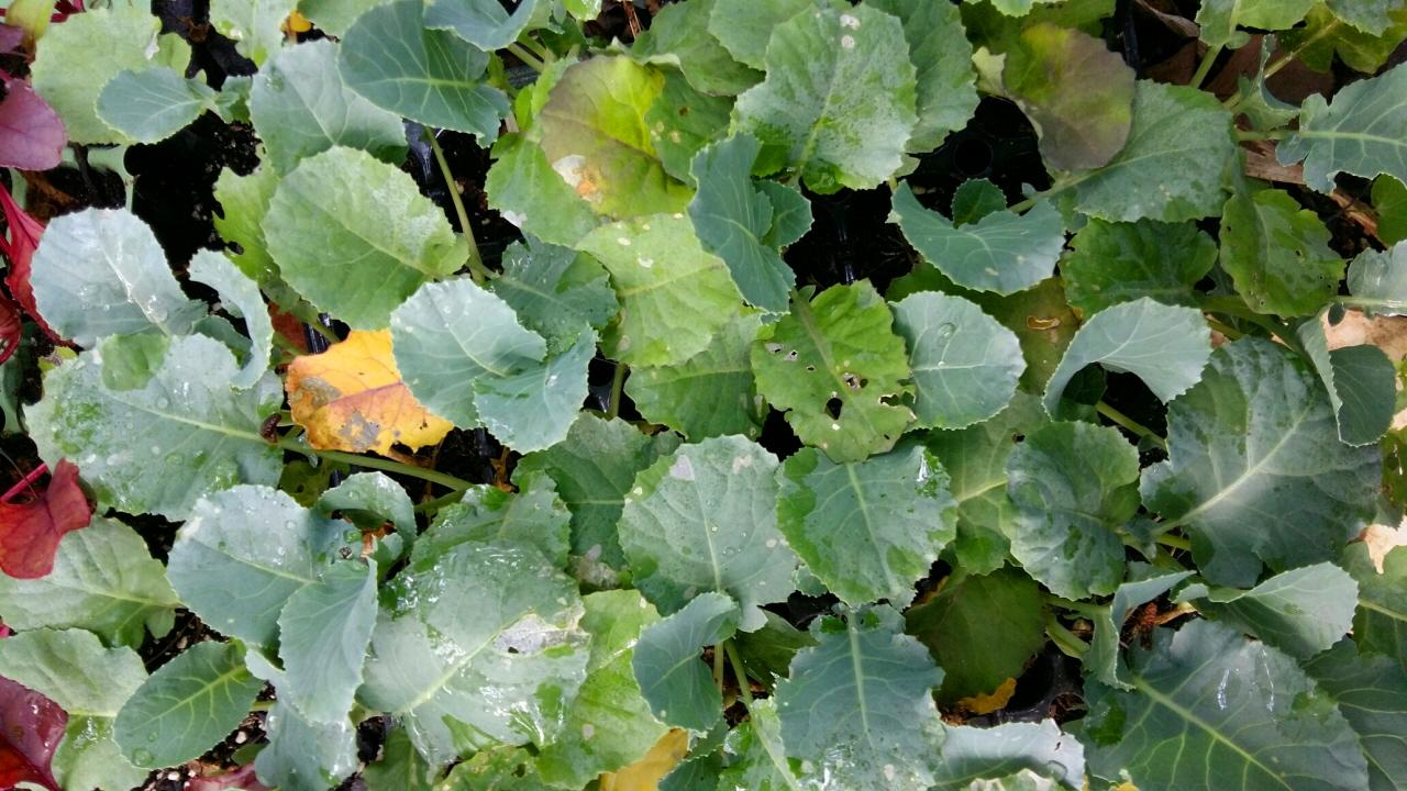 두 주간 정성껏 물을 주고 돌보아 싱싱하고 건강해진 양배추 모종(9월 1일)