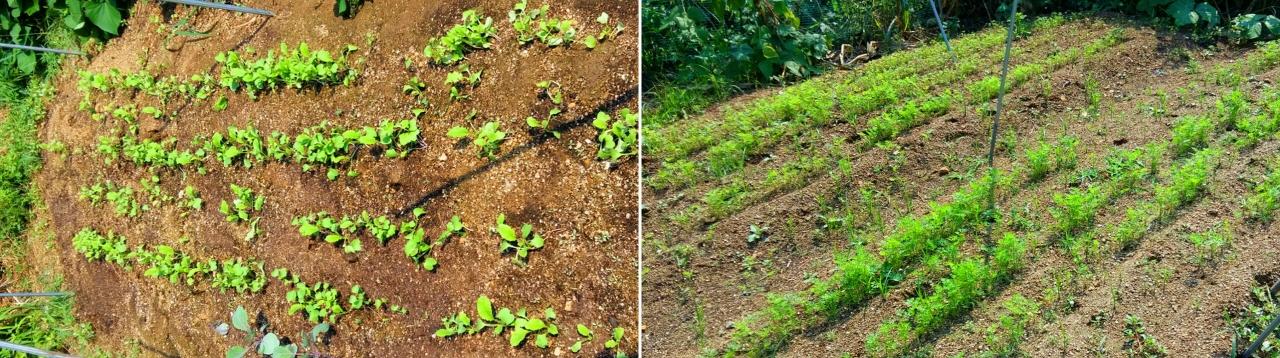 무더위 속에서도 싹이 잘 트인 무와 당근. 처음에는 햇볕이 따가워 발아가 되지않았으나 부직포로 그늘막을 해주자 싹이 잘 돋아났다.