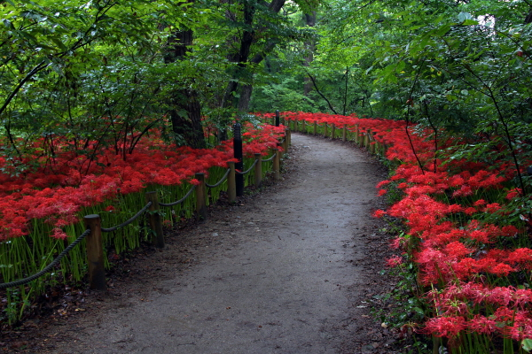 폭 80~200m, 길이 1.6km로 약 21만㎡(6만3000평)의 면적의 경남 함양 상림은 지금 붉은 물감을 확 뿌려 놓은 듯 붉게 빛나는 꽃무릇으로 가득하다.