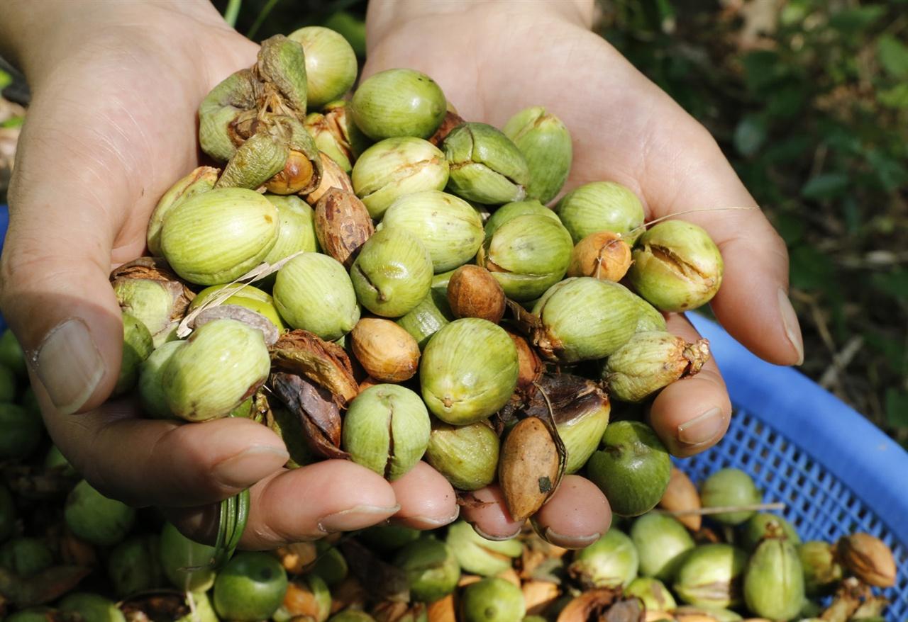 장흥 보림사 비자림에서 딴 비자 열매. 절집의 보살들이 딴 것이다.