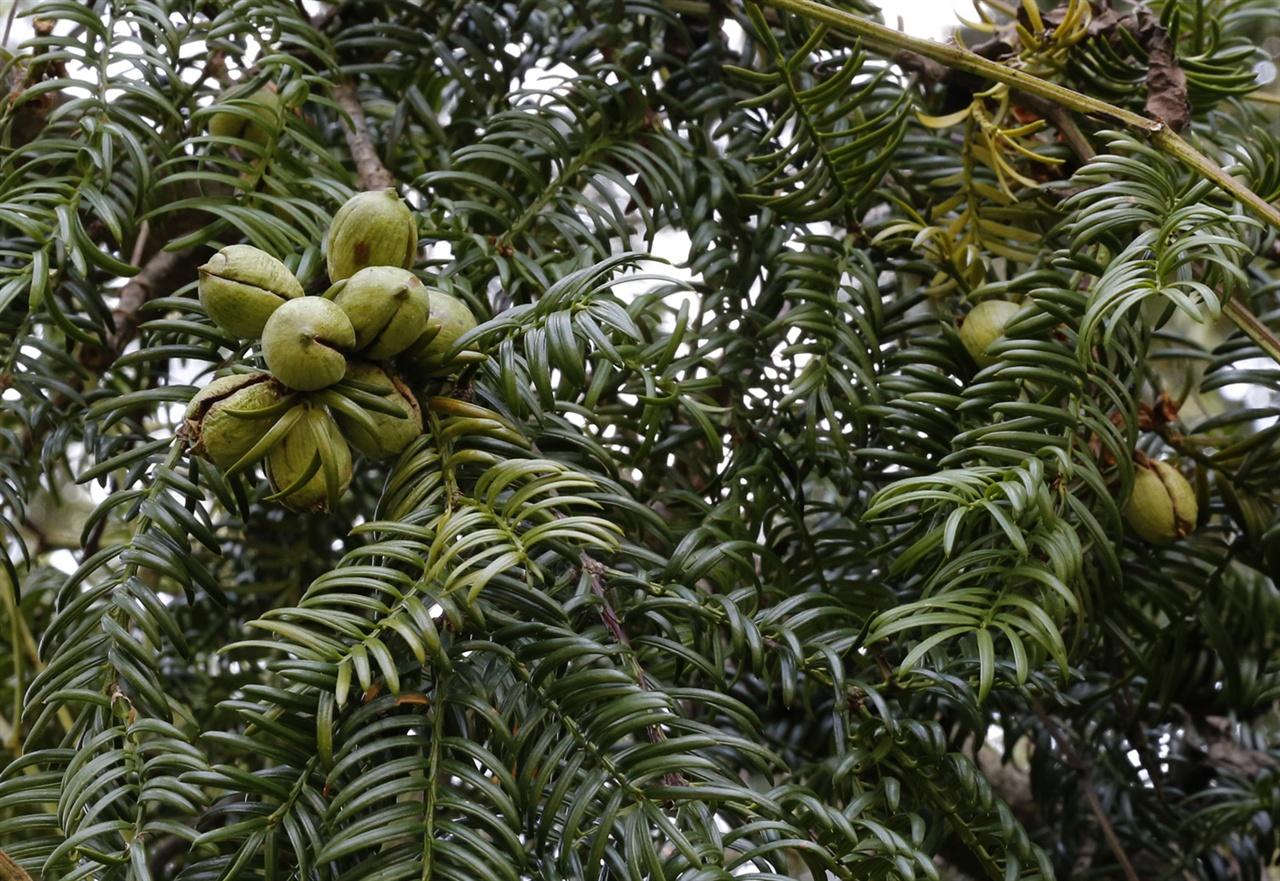 비자나무에 달려있는 열매. 이맘때 비자림에서 흔히 볼 수 있는 풍경이다.