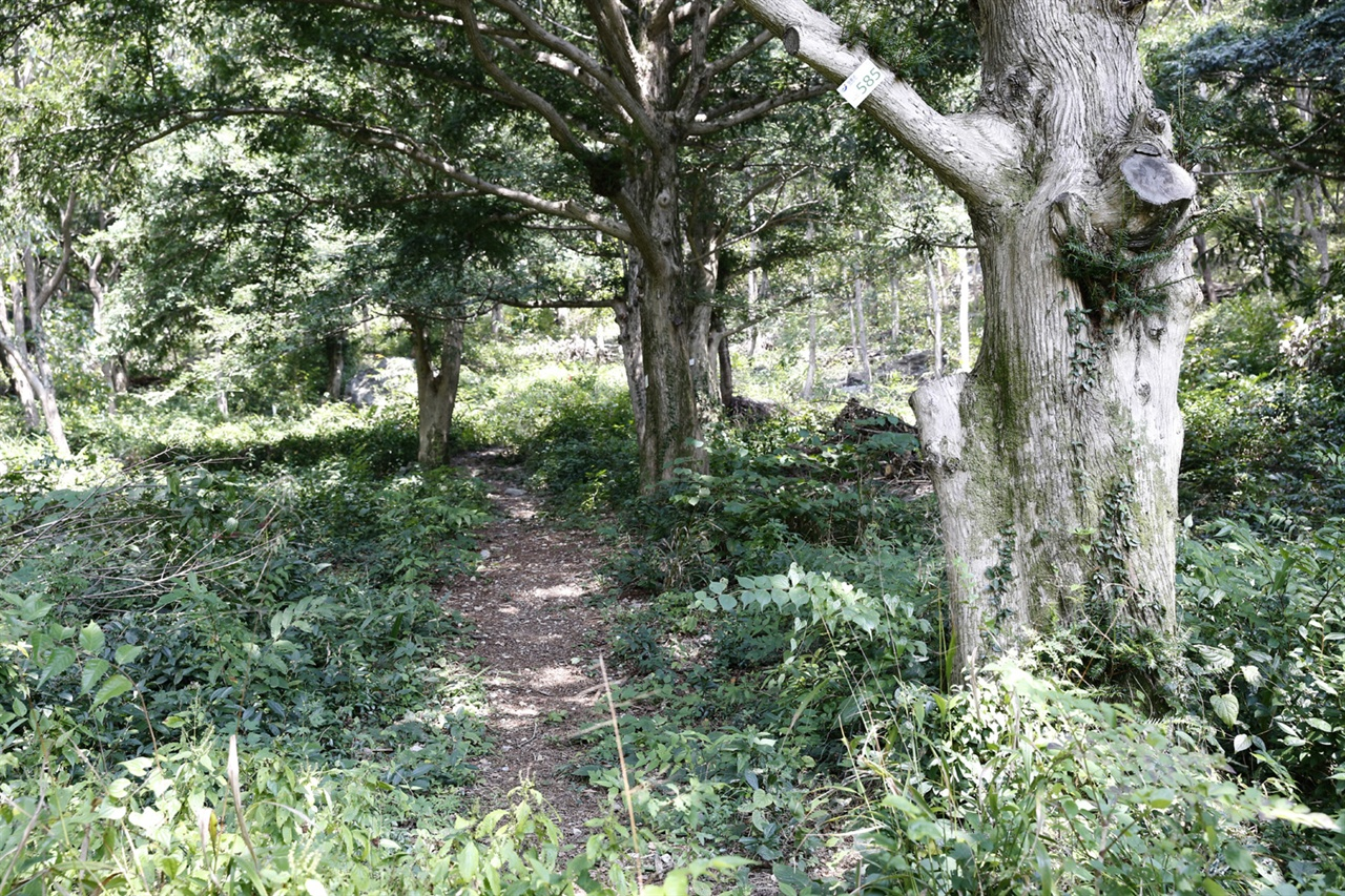 보림사 비자림. 수령 수십 년된 비자나무부터 수백 년된 나무까지 군락을 이루고 있다.