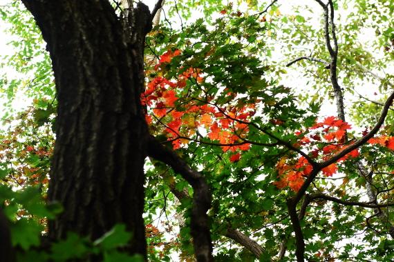 만경대 단풍 망경대 올라가는 길 숲에는 산단풍이 들기 시작했다.
