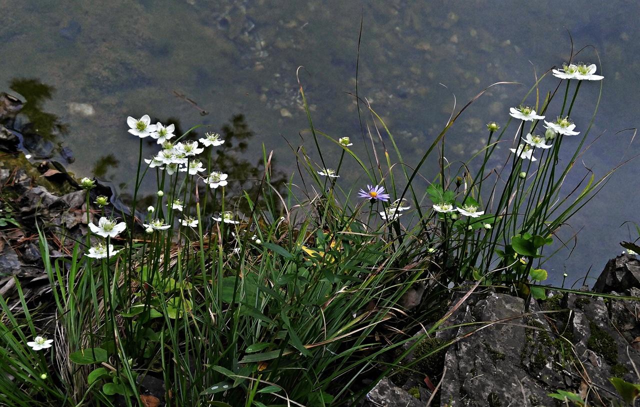 물매화 물가 바위틈에서 천행으로 급류에 쓸려가지 않고 꽃을 피워낸 물매화는 그 자체로 하나의 분경작품이 된다.