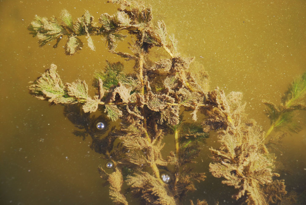 4대강 사업으로 콘크리트에 막힌 강물이 흘러가지 못하고 유속이 사라지면서 물속에서 자라는 수초까지 미세입자로 뒤덮여있다.