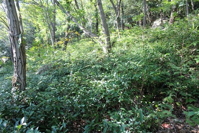 보림사 야생 녹차 밭입니다.