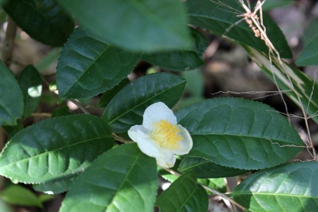 보림사 야생 녹차 꽃입니다.