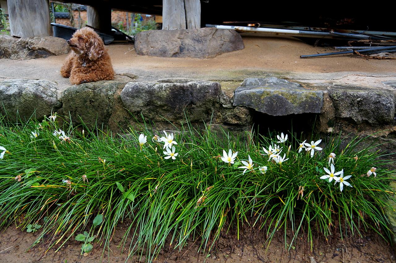 홍기응 가옥 안채 기단굴뚝  안채 기단을 따라 실난 꽃이 하얗게 피었다. 굴뚝 앞에도 실난이 핀 것으로 보아 기단에서 내뿜는 하얀 연기는 기대하기 어려워 보인다.