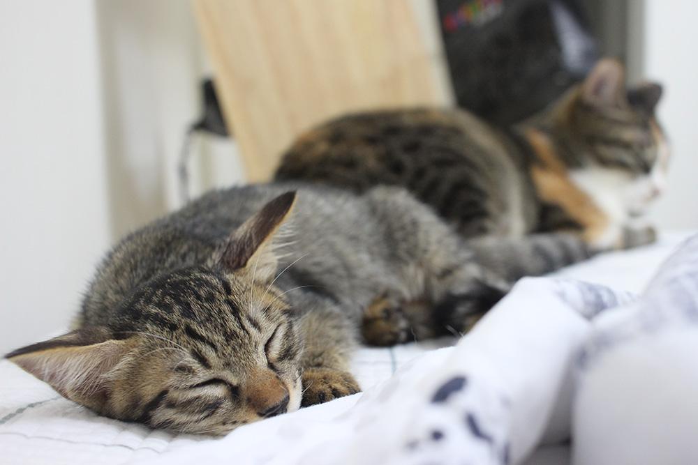 우리 집 고양이 옆으로 올라와 잠든 봄이(고등어고양이)