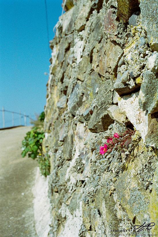 돌 사이의 채송화 35mm네거티브필름(프로이미지). 묵리 마을을 걷던 중 투박한 돌 사이에서 자라고 있는 채송화를 만났다. 무명과 비단의 짜임새를 적절히 섞어 놓은 듯한 꽃잎이 참 아름다웠다.