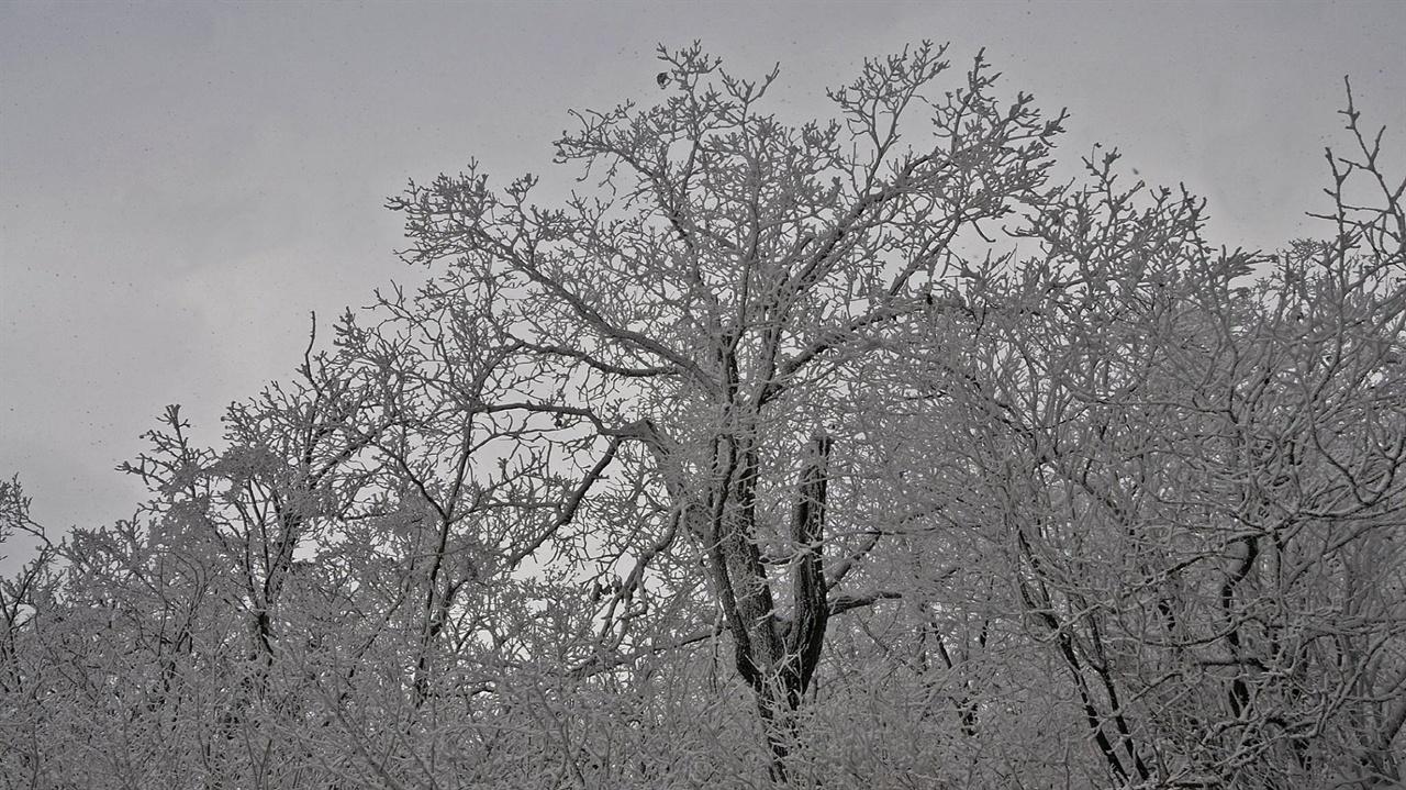 오색령 눈꽃 보다 가깝게 접근하면 비로소 비밀이 풀린다. 눈꽃은 눈이 내려서 만들어지는 것이 아니란 사실 말이다. 눈이 내린 뒤 녹아 습도가 대기 중에 가득한 상태에서 오후부터 다음날 아침까지 혹독하게 추워야 비로소 나무의 표면부터 가지 끝까지 빈틈없이 눈꽃이 핀다. 오후 3시경 산중에서 눈꽃이 형성되는 모습을 지켜보면 말 그대로 일순간 세상이 기묘하게 변모한다는 느낌이다.