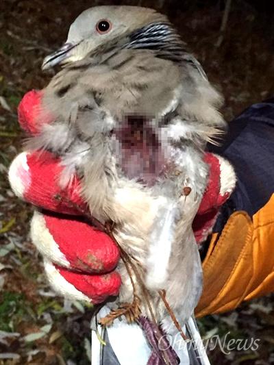 22일 오후 창원 가음정공원에서 가슴에 상처를 입은 '멧비둘기'가 발견되었다.