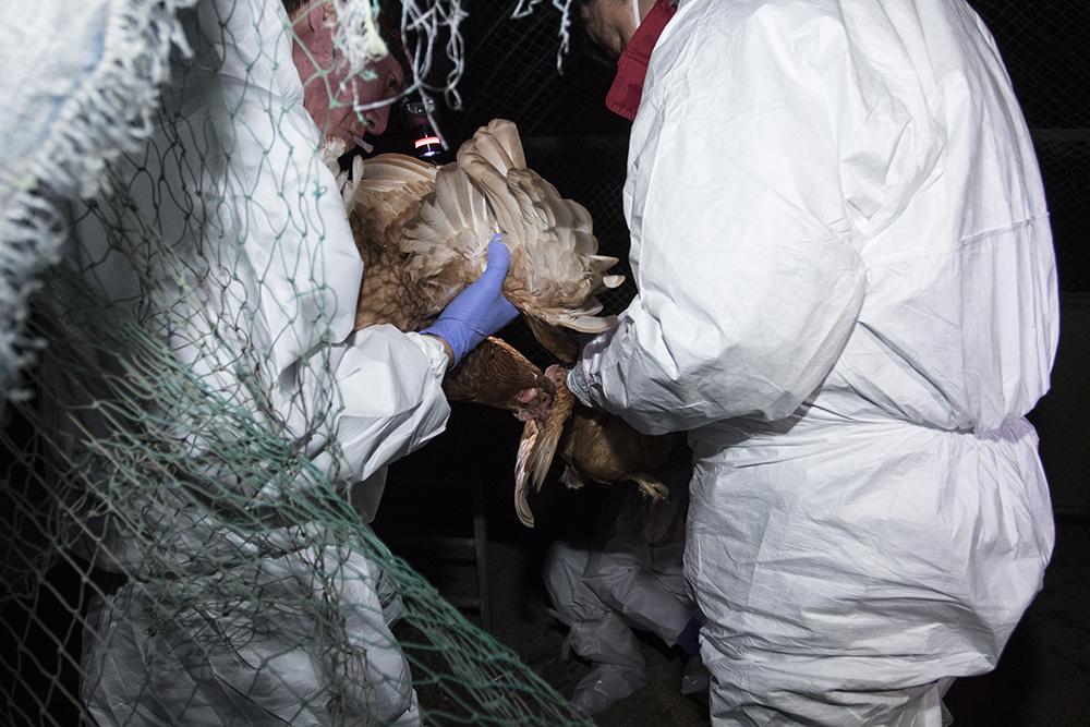 천안시 측은 30일 자정 장 아무개 씨 농장의 산란계 700여 마리를 살처분했다.