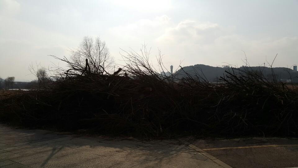 갑천에서 벌목한 버드나무를 쌓아 놓은 모습 대규모 벌목을 벌인 갑천
