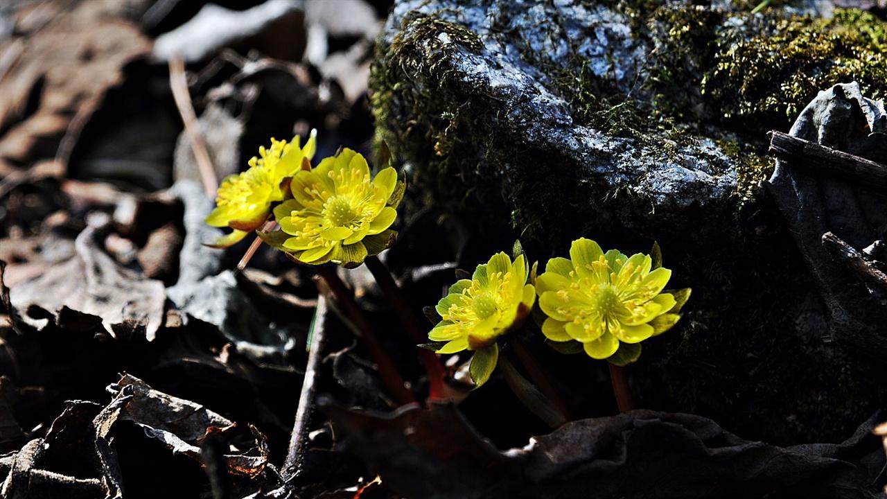 복수초 볕이 좋은 양지쪽에 일찌감치 싹을 틔워 꽃을 피우는 복수초는 대표적인 겨울꽃이다. 그 자체만으로도 복수초, 가지복수초, 연두복수초, 새복수초 등이 있고 이름 또한 다양하게 불릴 정도로 오래전부터 많은 이들의 사랑을 받아왔다.