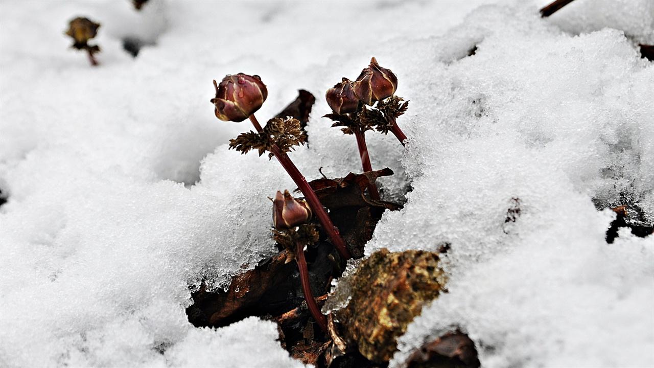 복수초 스스로의 에너지로 쌓인 눈을 녹이며 햇살이 비치기를 기다리는 복수초는 오전 10시 정도 햇살이 비치면 비로소 꽃잎을 활짝 열어 작은 곤충을 유혹한다. 눈 속에 꽃이 활짝 핀 사진 대부분 연출이다. 빛부터 다양한 조건을 갖춰야 꽃잎을 열고, 기온이 내려가면 다시 꽃잎을 닫는다.