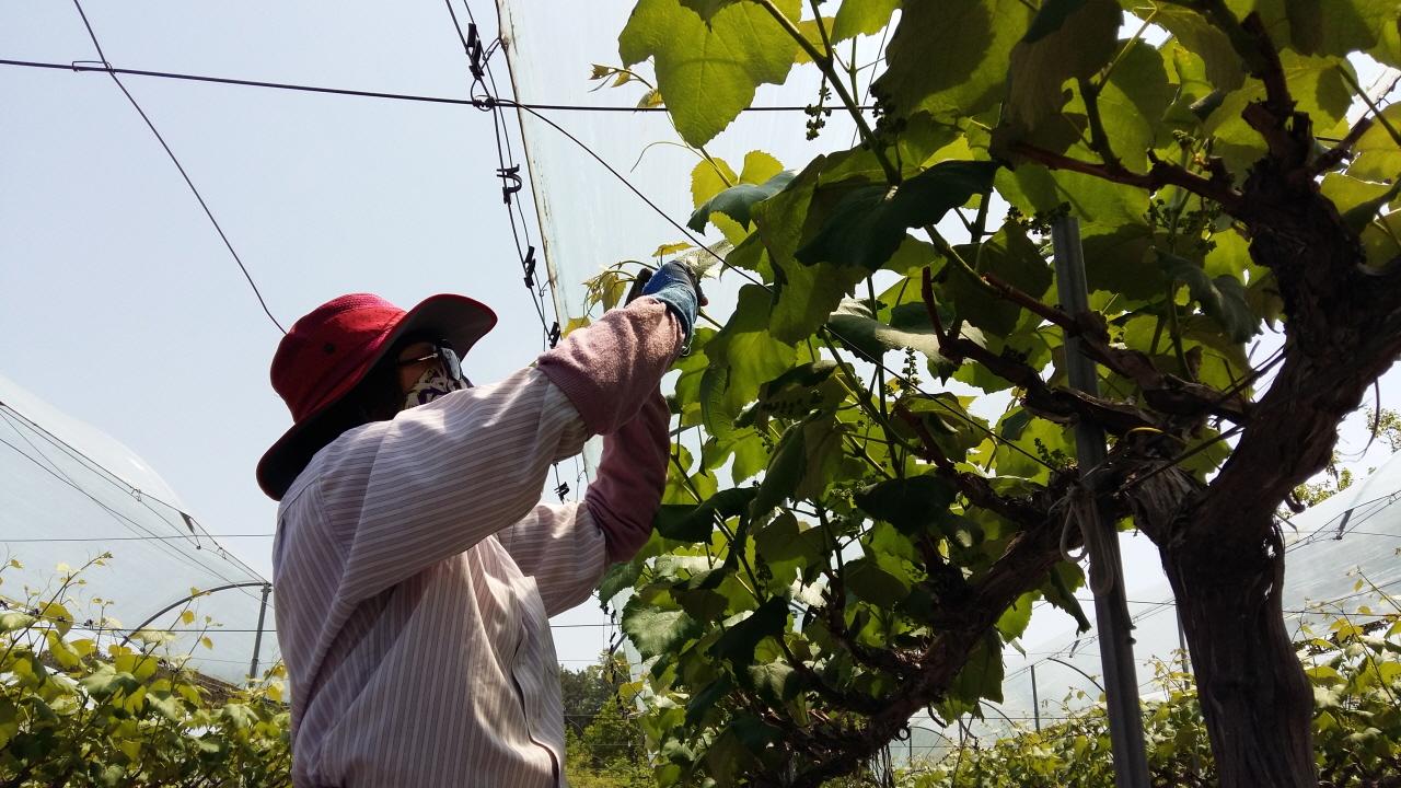 본격적인 포도농사 포도에 순이 나오기 시작하면 포도순따고 정리하느라 하루 해가 짧기만 하다.