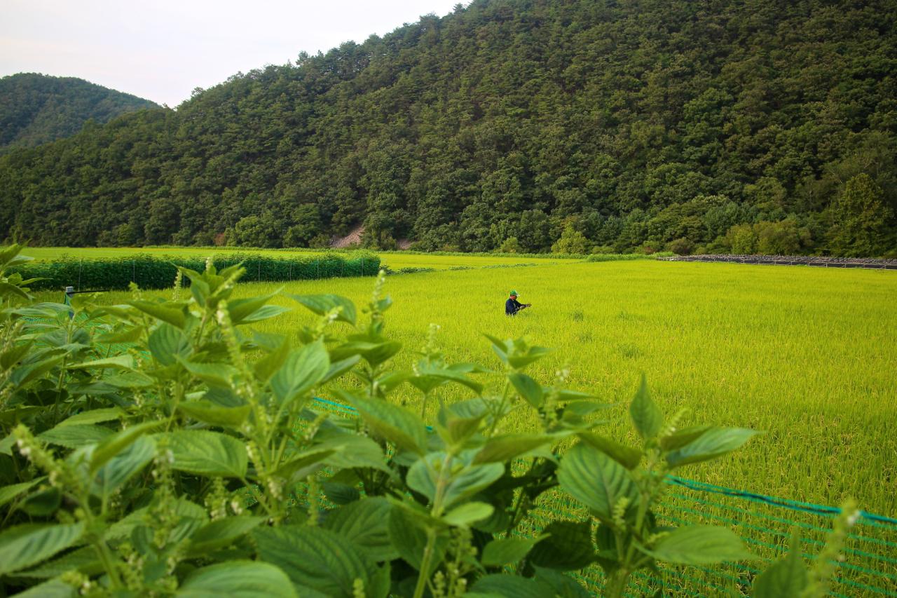 제곡리에서 남면으로 이어지는 길. 농부가 밭에 약을 뿌리고 있다.