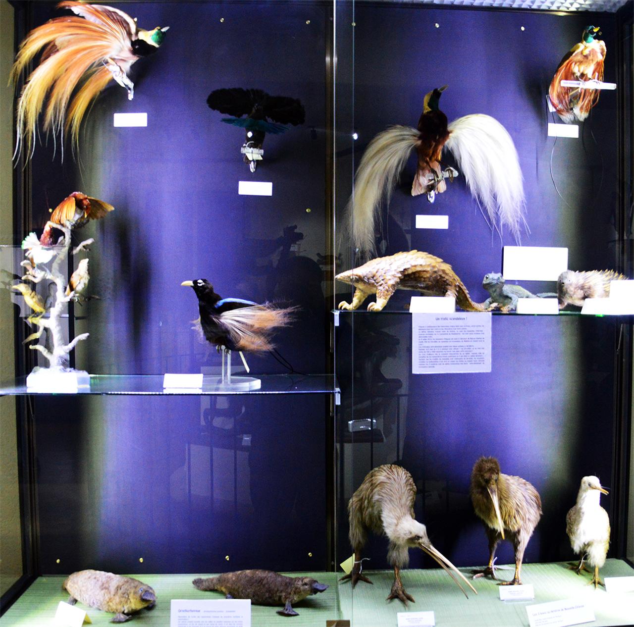 폴리네시아 호주 희귀동물. 프랑스 탐험가들이 놀란 오리너구리, 가시두더지가 전시 중이다.