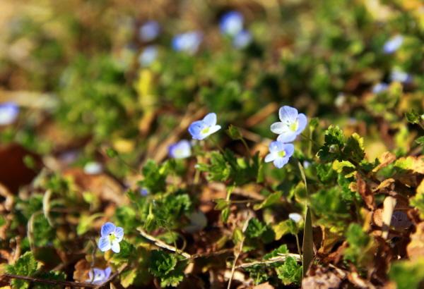 돌계단을 올라가는데 벌써 저만치에서 반가운 봄소식을 전하는 '봄까치꽃'이 반긴다.