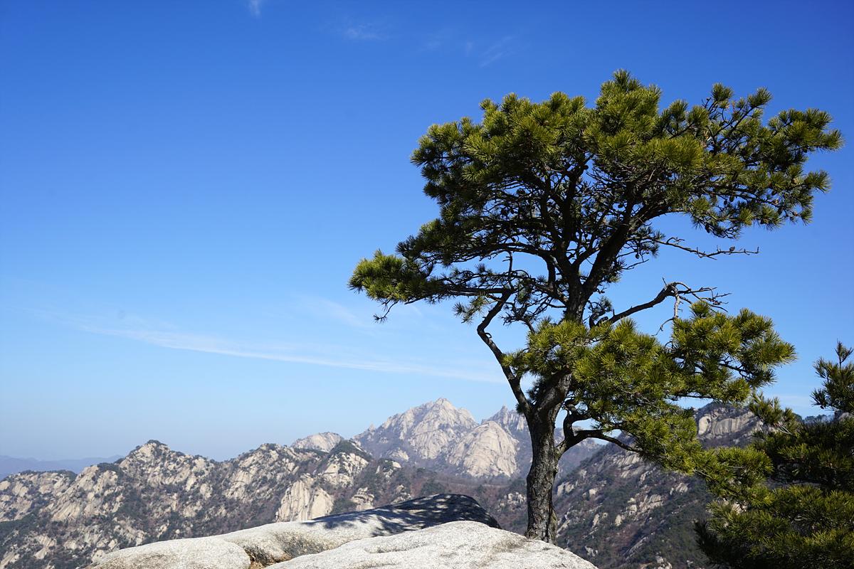 바위 위의 소나무와 그 뒤로 보이는 백운대