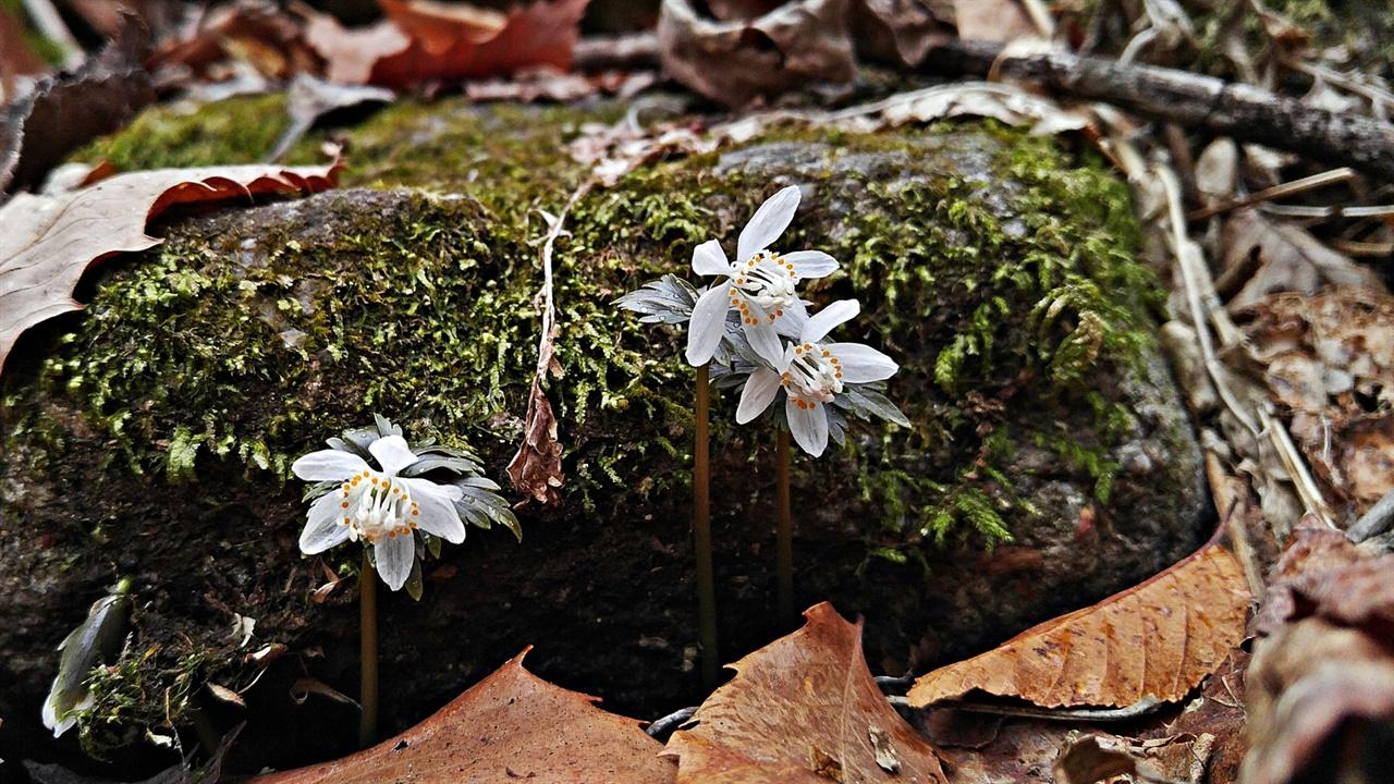 너도바람꽃 학명이 <Eranthis stellata Maxim.>로 지정된 너도바람꽃은 설악산을 포함한 중부 이북과 지리산, 덕유산에 자라는 미나리아재비과의 다년생 식물중 하나다. 특성을 설명한다면 우선 생육환경은 산지의 반그늘에서 찾을 수 있다. 그리고 키는 10~15㎝ 정도다. 잎은 길이 약 3.5~4.5㎝에 폭 4~5㎝이고 깊게 3갈래로 나누어지며 양쪽 갈래는 깃 모양으로 다시 3갈래로 갈라지는데 꽃ㅇ; 피는 2~3월엔 담자색이다. 꽃은 흰색으로 꽃자루 끝에 한 송이가 피며, 지름은 약 2㎝ 안팎이다. 꽃이 필 때는 꽃자루에 꽃과 자주빛 잎만이 보이지만 꽃이 질 때 쯤 녹색으로 바뀐다. 열매는 5~6월에 열린다.