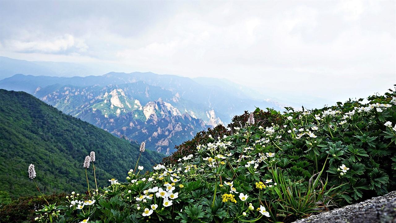 바람꽃 ▲ 바람꽃 학명이 <Anemone narcissiflora L.>인 바람꽃은 설악산의 해발 1,000m 이상 지대에서 발견되는데 흘림골과 공룡능선, 용아장성, 대청봉이 대표적인 자생지다. 대청봉은 온천과 약수터가 있는 오색2리에서 등산로가 개방되어 있으나 원칙적으로 주소는 강원도 양양군 서면 오색1리에 속한다. 지난해 6월 25일 대청봉에 올라 촬영한 바람꽃이다. ⓒ 정덕수