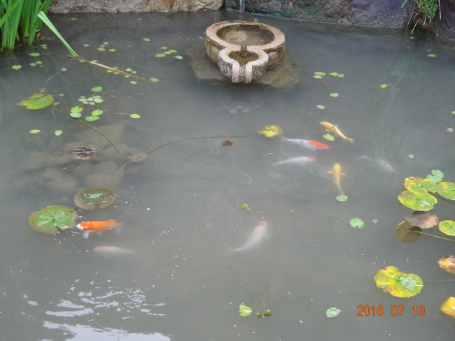 검화당 연못 손자들이 모이를 던져주면 우르르 몰려드는 비단잉어들