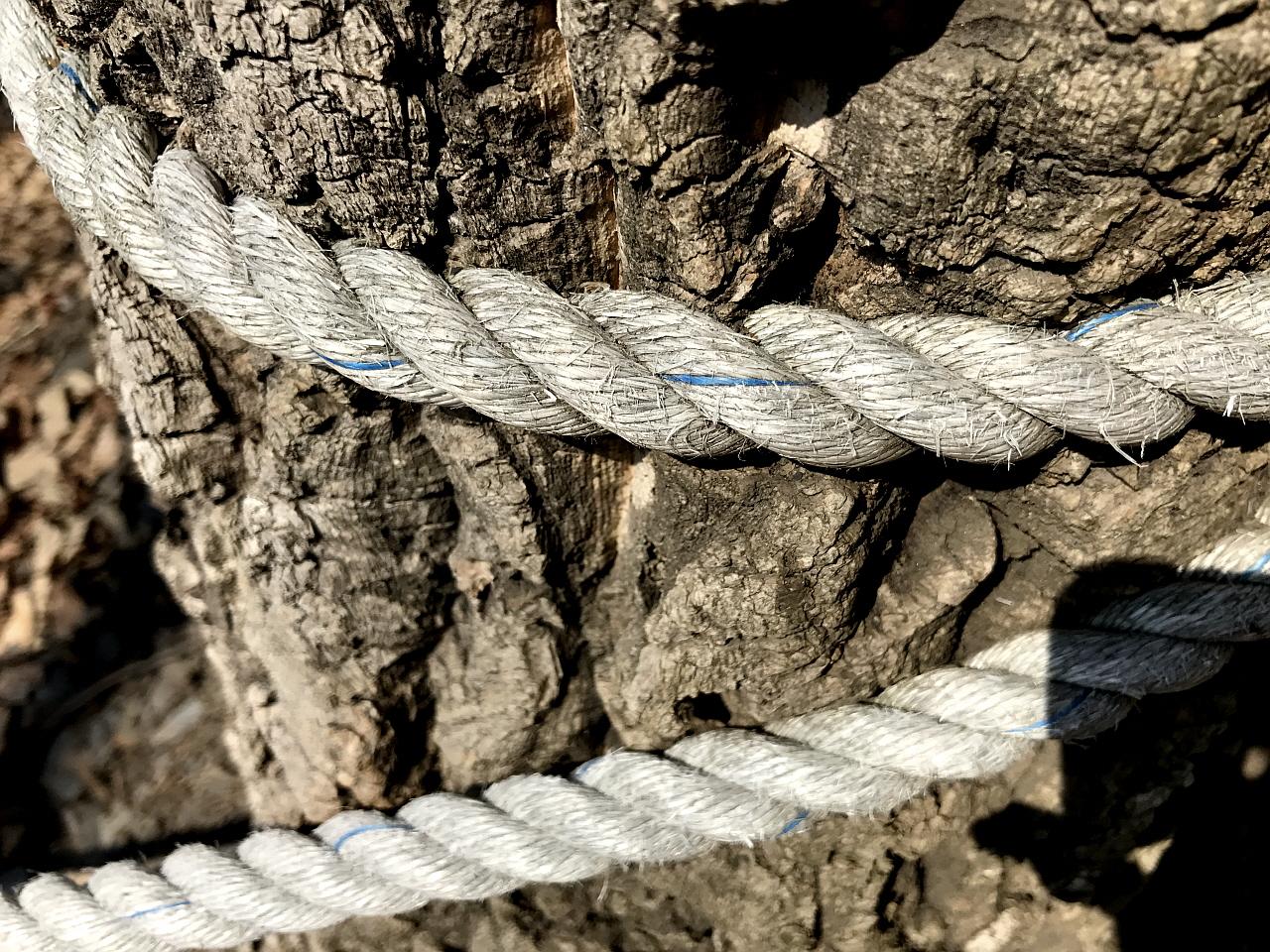 굴참나무를 조이는 밧줄 만인산 안전을 위히 설치한 밧줄이 조여가고 있다.