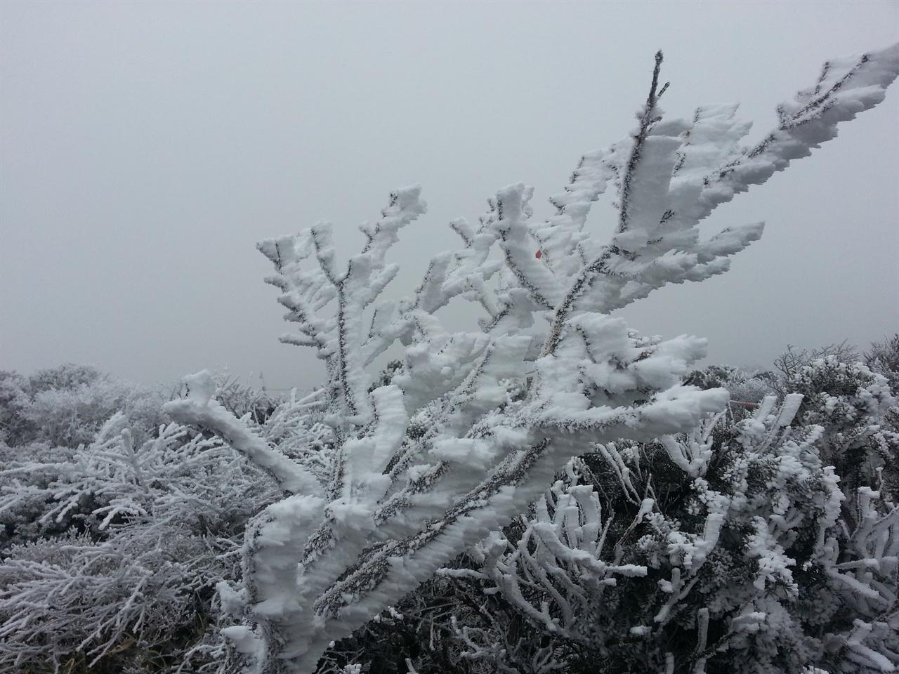 한라산 눈꽃 영실계곡에 핀 아름다운 눈꽃, 2016년 11월23일