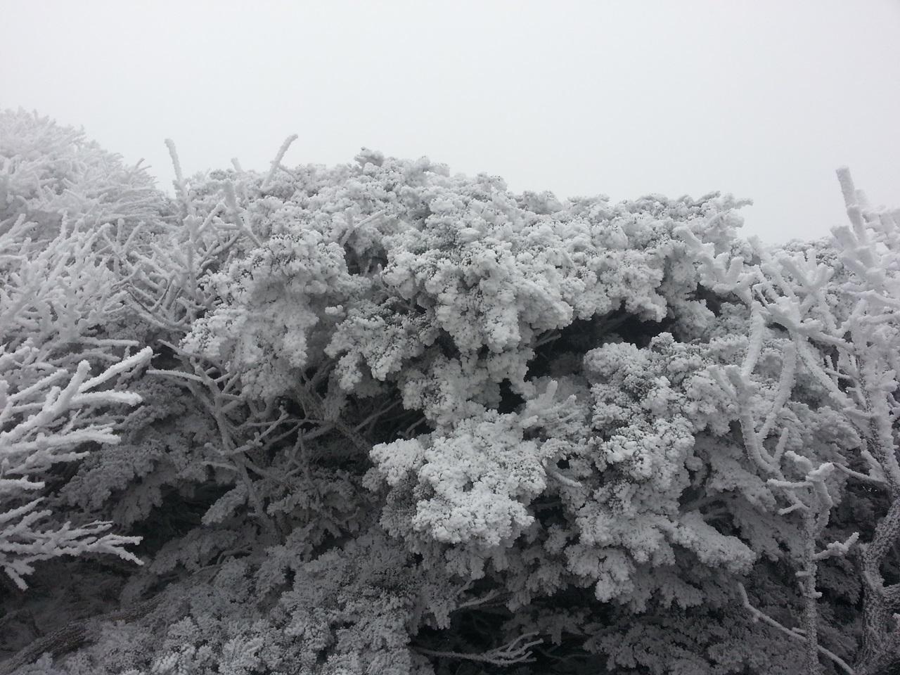 한라산 눈꽃2 영실계곡의 눈꽃은 장관중의 장관이다.2016년 11월23일